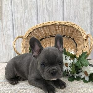 Brother Surprises Sister With French Bulldog Puppy Bulldog