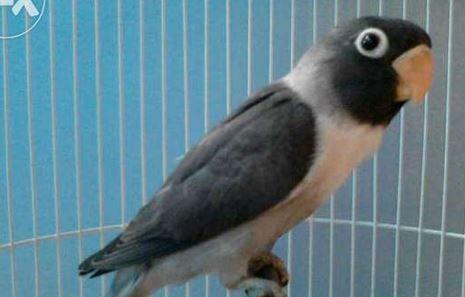 Pin Di Love Bird