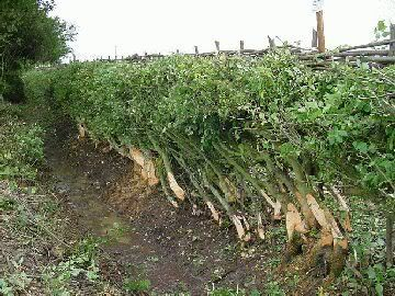 Pin By Guy Philp On Hedge Laying Farm Fence Hedges Farm