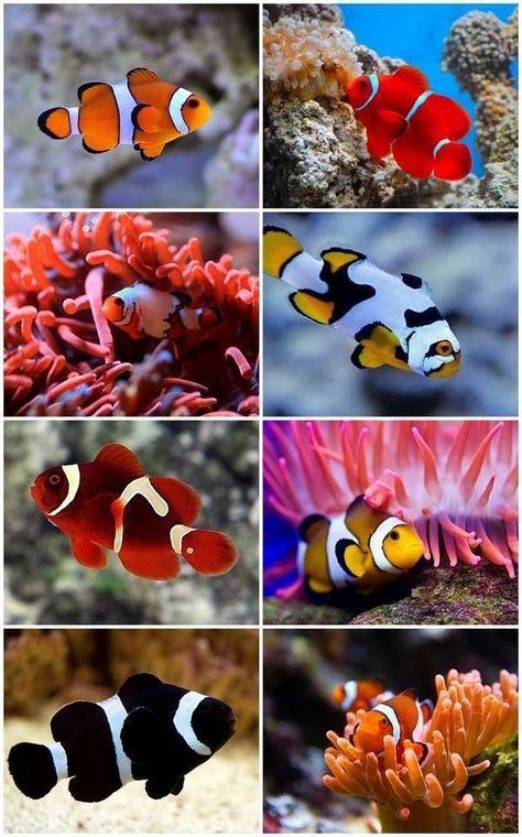 Clownfish Saltwater Aquascpaing Ideas Fish Species Saltwater Aquarium Fish Clown Fish Saltwater Aquarium