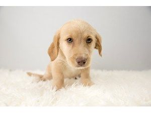 Adorable Puppies In Pickerington Ohio With Images Puppies