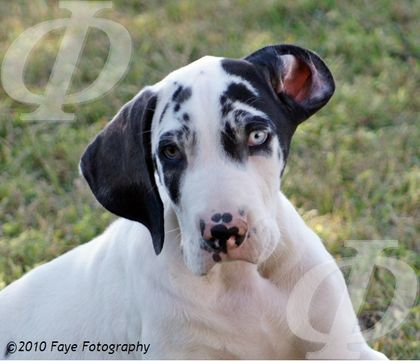 Vulpine Great Danes Past Puppies Great Dane Great Dane Puppy