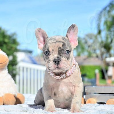 Poetic French Bulldog Puppies Available French Bulldog Puppies