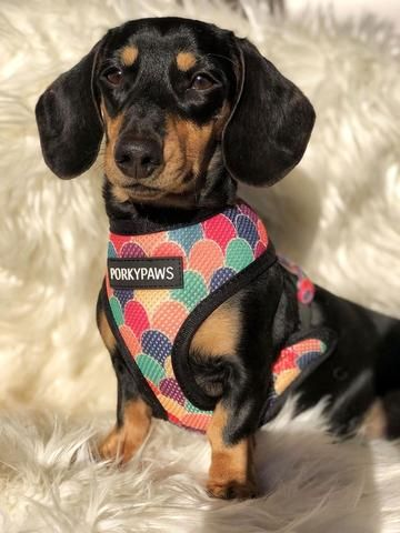 The Best Dachshund Harness Top 5 Picks In 2018 Funny