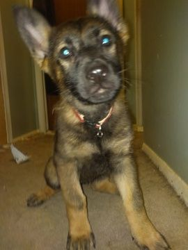 German Shepherd Dog Puppy For Sale In Grand Blanc Mi Adn 57214