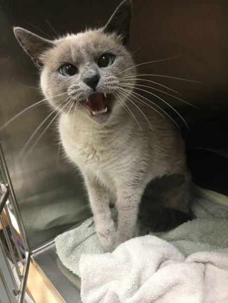 Vega Siamese Cat For Adoption In Hawk Point Missouri Cat Adoption Siamese Rescue Cat Rescue