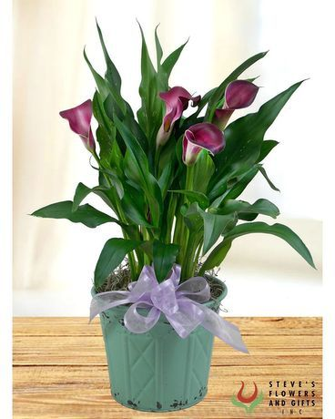 Calla Lily Plant In Indianapolis In In 2020 Calla Lily Lily Plants Plants
