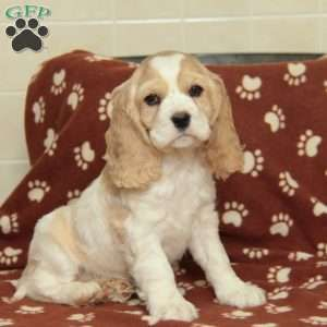 Lucy Cocker Spaniel Puppy For Sale In Pennsylvania Cocker Spaniel Puppies Spaniel Puppies For Sale Cocker Spaniel
