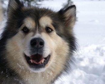 Alaskan Malamute Siberian And Alaskan Husky Differences Alaskan