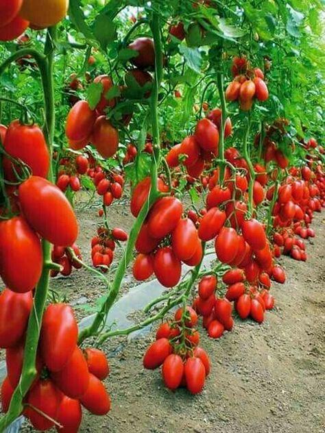 Pin Von Sing Fong Tain Auf Gemuse Tomaten Garten Gemuse Anbauen Und Obstgarten