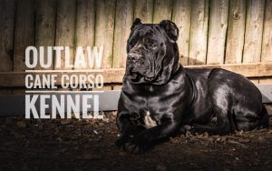 Pin On Cane Corso