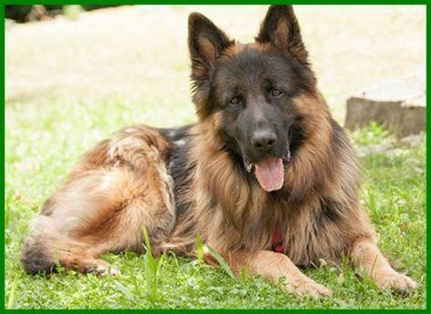 Askan Reinrassiger Langhaariger Schaferhund 2 Jahre Tierhi In Bayern Lauf A D Pegnitz Mischlinge Und Mischlingswe German Shepherd Dogs Gsd