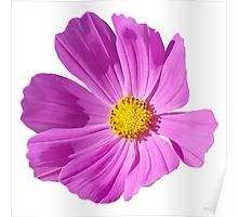 Pink Cosmos On A Transparent Background Poster By Ellenhenry Flower Art Cosmos Transparent Background