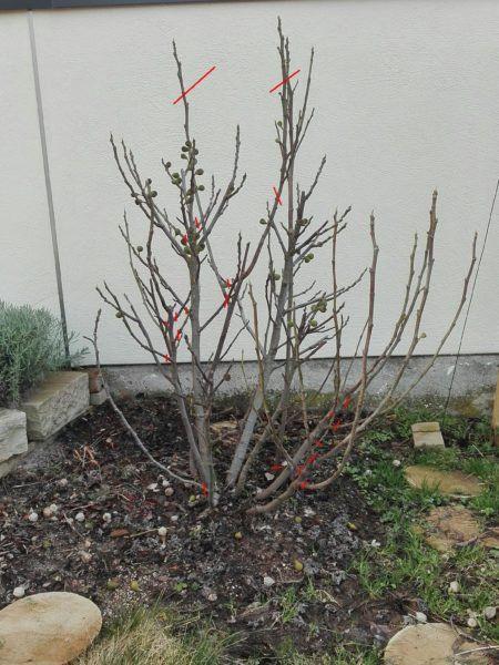 Wie Ihr Den Feigenbaum Schneiden Konnt Anlasse Und Eine Anleitung Garten Pflanzen Feigenbaum Feigenbaum Pflanzen