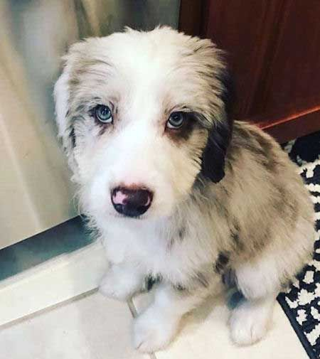 Warning These Aussiedoodle Pictures Will Make You Fall In Love