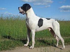 Piebald Great Dane Dane Breeds