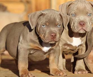 79 Merle Pitbull Puppies For Sale 2018 In 2020 Pitbull Puppies Pitbull Puppies For Sale Merle Pitbull