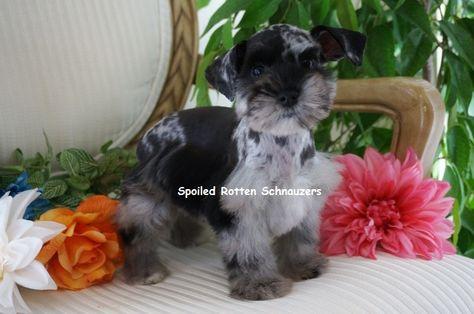 Blue Merle Schnauzer Schnauzer Puppy Teacup Puppies Beautiful Dogs