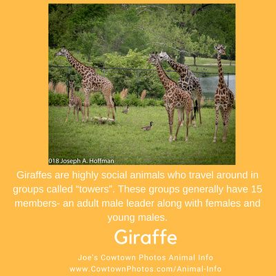 Animal Info Fact Of The Day For June 14 2018 Giraffe Jcpanimalinfo Fact Of The Day Surviving In The Wild Wildlife Photography
