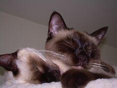 Stormhaven S Litterm Siamese Cats Cute Cats Cats
