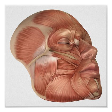 Anatomy Of Human Face Muscles Poster | Zazzle.com