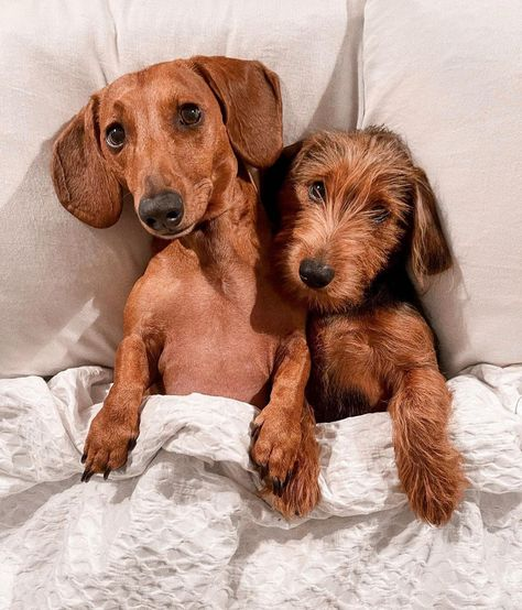 """Dirty Dachshunds on Instagram: """"Tuesday night snuggles 🥰 Via @leoandluigi . . . . . #weeniedog #puppy #cute #dachshund #puppiesofinstagram #sausagedogpuppy #puppylove…"""""""
