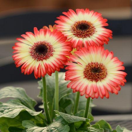 Image Result For Gerbera Flores Simples Flores Plantacao