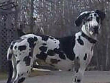 Lost Dog Detroit Lakes Great Dane Dog Male Date Lost 10 12 2019