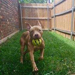 Available Pets At The Love Pit In Dallas Texas Pitbull Terrier