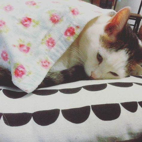 🐈今ノエ❀ . 皆にゃん…おはにゃ。  風の音が怖いから今日は まだ起きれにゃいよ。  ママの近くでまだ寝るね🙀 . #ねこ部 #ねこら部 #ねこ #猫のいる暮らし #愛猫  #にゃんこ #暮らし #ミックス猫 #ねこすたぐらむ #ねこ好き #にゃんだふるらいふ #ハチワレ #猫 #catlover #cat #catstagram #catsofinstagram #catinstagram #instacat #meow #meowmeow #whitecat #neko #ilovecats #lovemycat #lovecats #kawaiicat #ilovecats