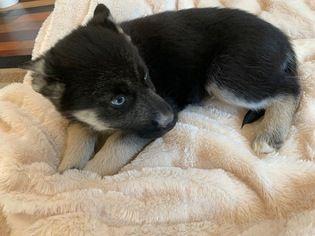 Gerbian Shepskys For Sale Siberian Husky Siberian Husky Mix
