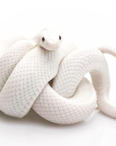 Auryn 美しいヘビ ヘビ 白蛇