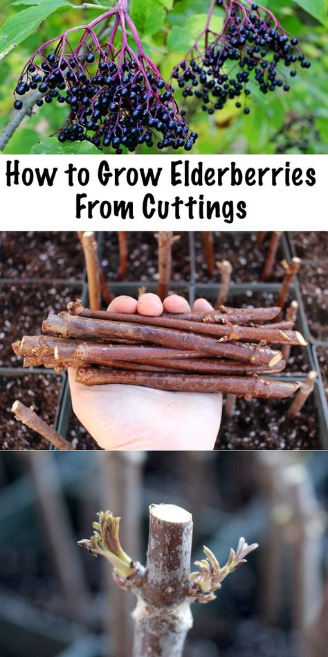 ae80ba1dd232 Stone Axe Herbals  How to Cultivate Elderberry  A Complete Guide ...