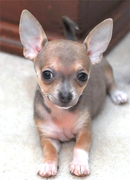 Image By Virginia A Witman On Chihuahua Chihuahua Puppies