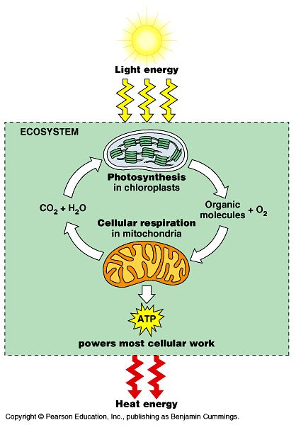 Great diagram for teaching photosynthesis and respiration has a great diagram for teaching photosynthesis and respiration has a blank on site to use for assessment the biology classroom pinterest photosynthesis ccuart Image collections