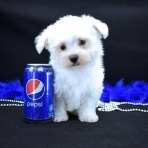Peanut Maltese Puppy Puppyspot Maltese Dogs Maltese Puppies