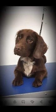 Kc 1yr Old Cocker Spaniel For Sale In Swindon Wiltshire