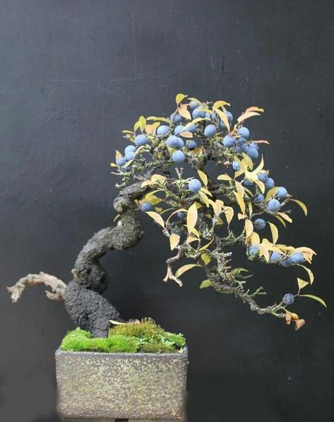 Blueberry bonsai---genius.  an otherwise hard to fruit to grow (mostly because you can't keep the wildlife away)