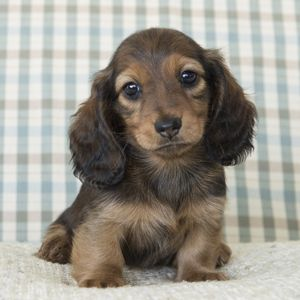 Miniature Long Haired Dachshunds From Dikerdachs Kennels Red Miniature Dachshu In 2020 Long Haired Miniature Dachshund Long Haired Dachshund Dachshund Puppy Miniature