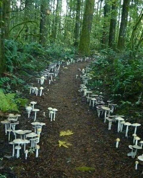 A fungi path located at the Cloud Mountain Retreat in Washington. I've never seen fungi used in the landscape like this - amazing! Beautiful World, Beautiful Places, Garden News, Mushroom Fungi, Mushroom Seeds, Foto Art, Belleza Natural, Science And Nature, Stuffed Mushrooms