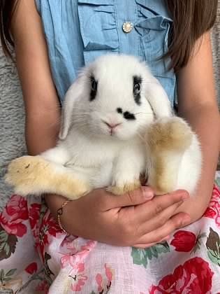 Bam Bam Dutch Rabbit Atco Nj To Adopt Call Pam 856 685 4061 Or Email Littlemiraclesrr Aol Com Indoor Homes Only All Bunnie Litter Training Bunny Rabbit