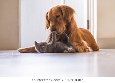 Golden Retrievers And British Shorthair Dog Stock Images Golden
