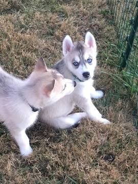 Siberian Husky Puppy For Sale In Joplin Mo Usa Gender Male