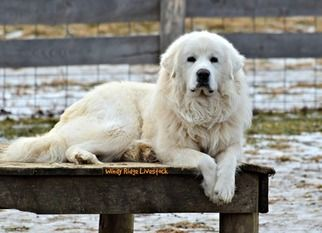 Great Pyrenees Dog Breeder Subs 107880 In Beverly Oh Usa On