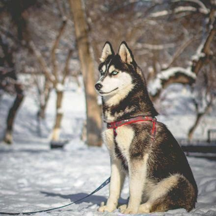Discover Intelligent Siberian Husky Exercise Needs