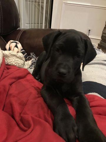Great Dane Puppy For Sale In Borden In Adn 64372 On Puppyfinder
