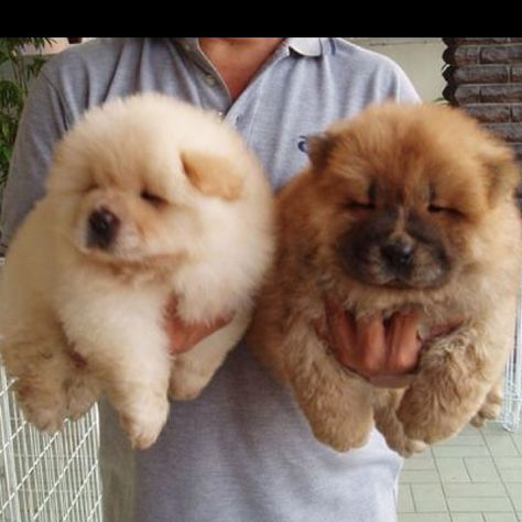 Mini Chow Chow Cute Animals Puppies Pets