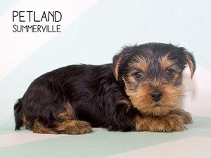 Dogs Puppies For Sale Petland Summerville South Carolina Puppies For Sale Puppies Dogs And Puppies