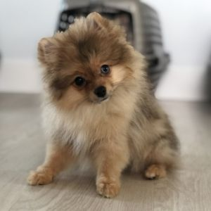 Cocoa Pomeranian Puppy Pomeranian Puppy Pomeranian Puppy For