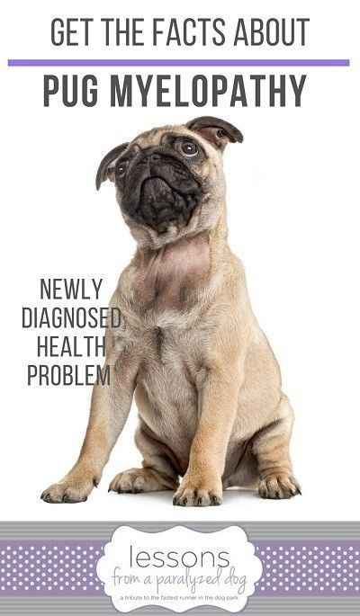 Advances In Understanding Pug Myelopathy Pugs Pug Facts Dog